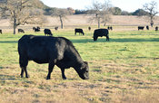Cow Stock Photos: Black Angus cattle grazing in a pasture