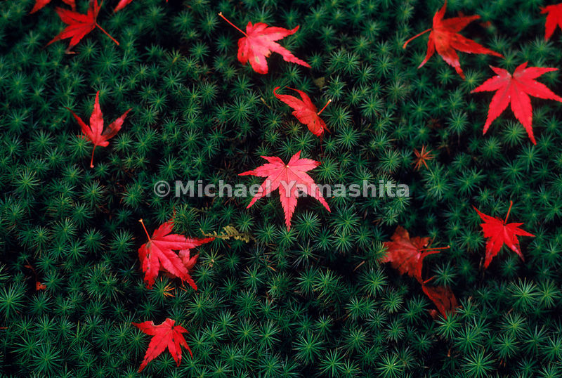 Japanese Garden- at Sanzen-in in Kyoto, fallen maple leaves on a blanket of sukigoke moss serve as reminders of the cycles of nature.