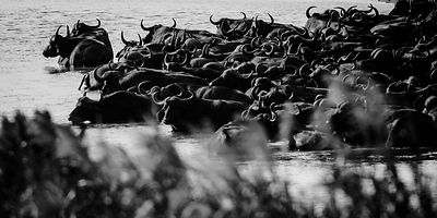 9593-Herd_of_buffalos_in_the_river_Laurent_Baheux