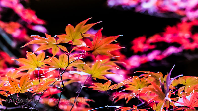 HR-JapaneseMaple-Fall-9769