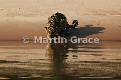 Female Jaguar 'Hunter' (Panthera onca) drinks from Three Brothers River, Northern Pantanal, Mato Grosso, Brazil. Image 29 of 62; elapsed time 39mins