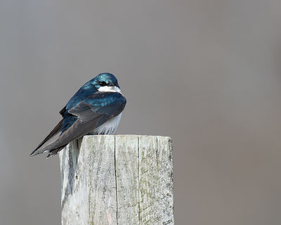 Tree Swallow on Post