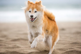 Shiba inu dog running on beach