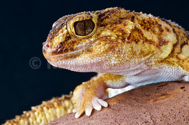 Giant ground gecko (Chondrodactylus angulifer)