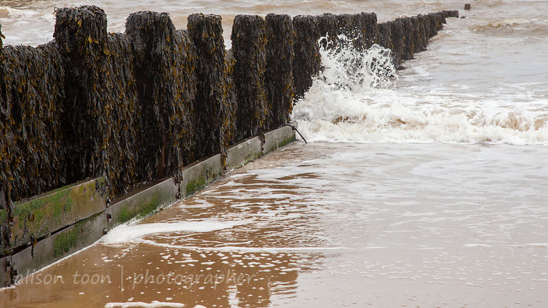 Wooden groyne covered with seaweed