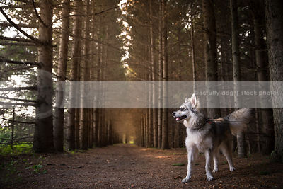 arctic breed dog with fluffy tail standing in tunnel of pine trees