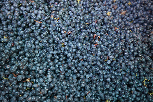 Destemmed and ready to crush, a bin full of juicy, ripe cabernet sauvignon grape berries.