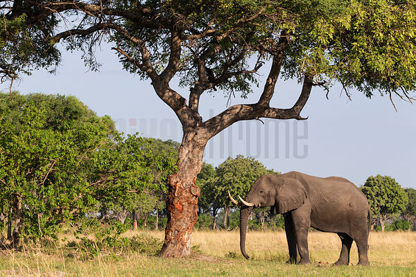 Elephant Bull Under a Marula Tree