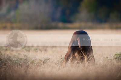 humorous brown dog butt from behind in field with bokeh background