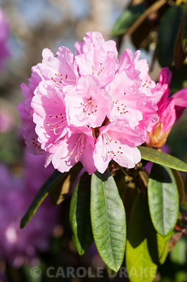 Rhododendron 'Endsleigh Pink'. Cotehele, Cornwall, UK