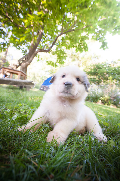 cute white puppy dog in mowed grass with backlit trees