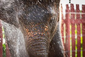 Elephant taking a bath in Thailand.