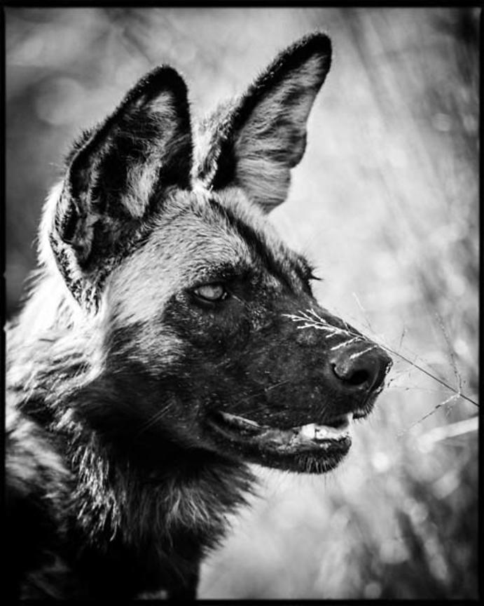 1259-Wild_dog_portrait_Bostwana_2009_Laurent_Baheux