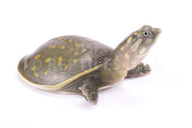 Spotted flapshell turtle, Lissemys punctata andersoni