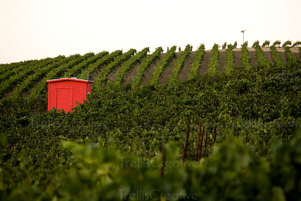 A red outbuilding sits amid a rolling hillside vineyard