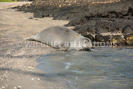 hawaiian_monk_seal_big_island_02062015-154