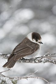 Gray Jay (Perisoreus canadensis) perched on a branch during a snowstorm on Hurricane Ridge, Olympic National Park, Olympic Peninsula, Washington, USA, March, 2009_WA_8089