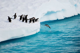 Gentoo penguins diving
