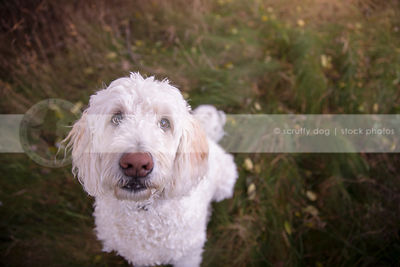 cute white doodle dog staring upward from natural grasses