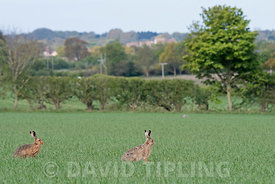 Brown Hares Lepus Europaeus on arable field of wheat in early spring North Norfolk