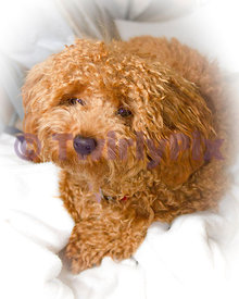 April toy poodle