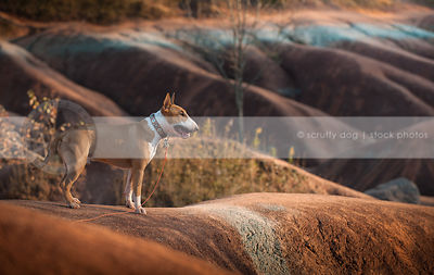 tan and white dog standing on ridge in red clay valley