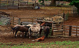 Horses_in_the_corral
