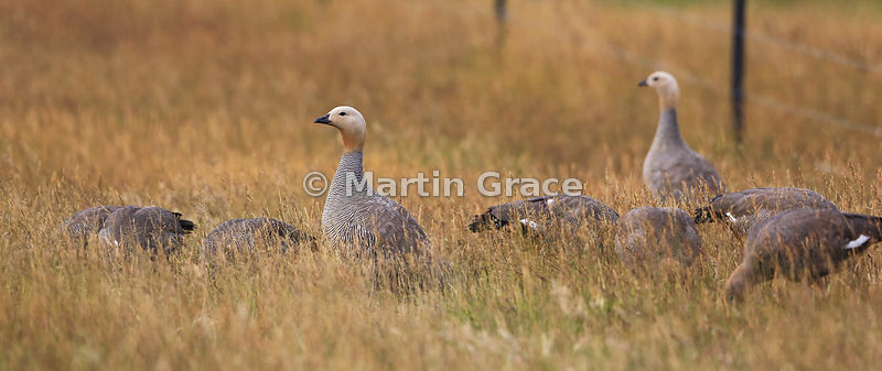 Male Ruddy-Headed Goose (Chloephaga rubidiceps) stands guard while his family feed, Darwin, East Falkland