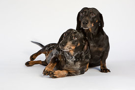 Pair of miniature dachshund sleaning on each other against white background