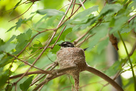 A Grey Fantail in it's nest