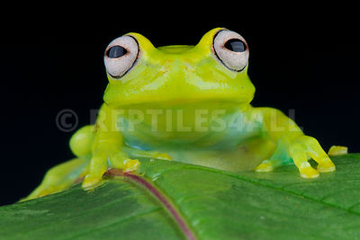 Glass frog (Hyalinobatrachium fleischmanni) photos