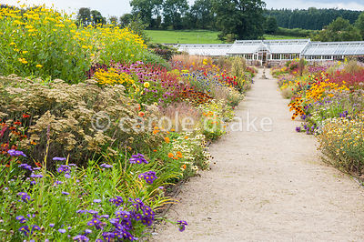 Double herbaceous borders planted with predominantly hot colours lead toward renovated Victorian greenhouses. Key plants include dark red Persicaria amplexicaulis 'Atrosanguinea', Chrysanthemum segetum 'Eastern Star', Achillea 'Terracotta, annual marigolds and rudbeckias, dahlias, Echinacea purpurea Bressingham hybrids, tall Rudbeckia laciniata 'Juligold', Erigeron 'Dignity' and blue Echinops ritro. Helmsley Walled Garden, Helmsley, York, North Yorkshire, UK