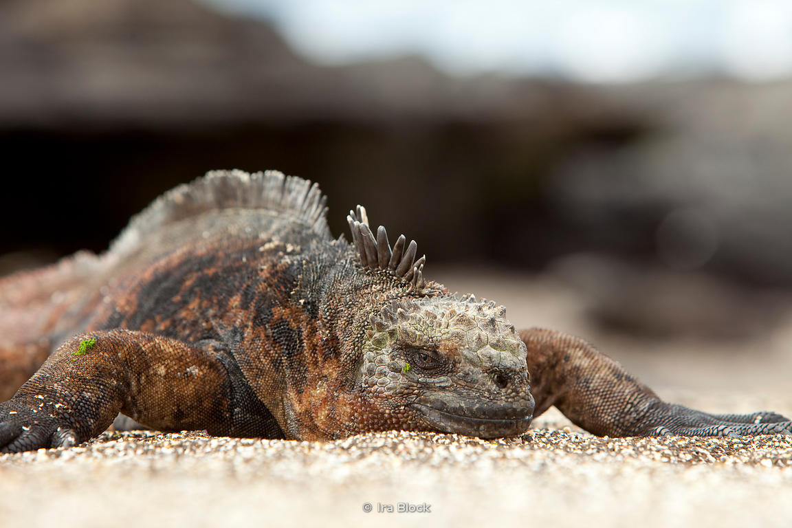 a marine iguana takes a nap in the sun on Santiago Island.
