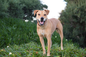 Smiling Large Tan Dog Standing in Ice Plants