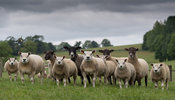 Flock of sheep withbeltex sired lambs at foot, North Yorkshire, UK.