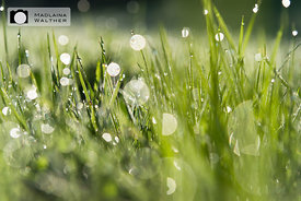 Grass with morning dew.