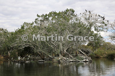 Nesting tree for Reed Cormorants, African Darters and African Spoonbills, River Chobe, Botswana