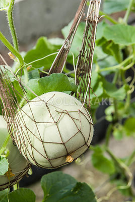 Netted Melon 'Sweetheart'. Clovelly Court, Bideford, Devon, UK