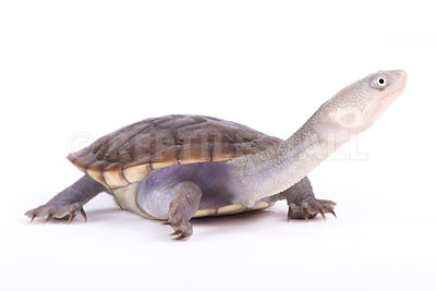 New Guinea snake-necked turtle (Chelodina novaeguineae)  photos