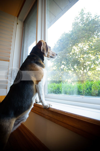 dog with two legs on windowsill waiting at window indoors