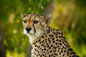 A young cheetah found on Sir Bani Yas Island in Abu Dhabi.