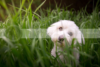 curious little dog hiding in tall grasses in summer