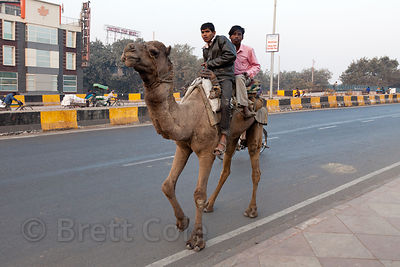 Camel on a major road near the New Delhi Railway Station, Delhi, India