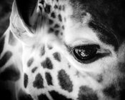 1456-Eye_of_giraffe_Kenya_2013_Laurent_Baheux