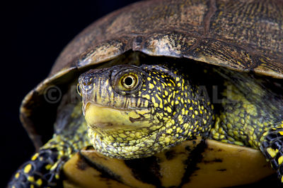European pond turtle (Emys orbicularis)  photos