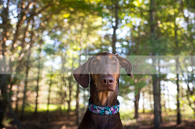 portrait of doberman dog staring in trees with sunshine