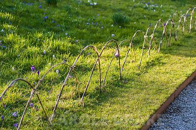 Grassy bank along entrance path covered with purple crocus, protected with a simple bamboo fence. Cotehele, St Dominick, nr Saltash, Cornwall, UK
