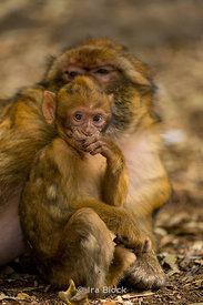 Barbary Macaques near Ifrane in Morocco