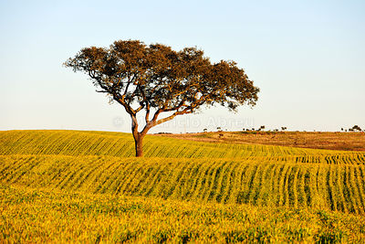 Holm oak and crops in Alentejo. Portugal