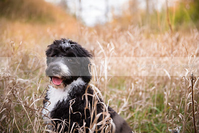 happy curly coated puppy laughing sitting in dried grasses
